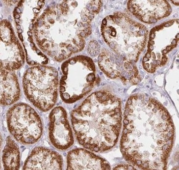 Immunohistochemistry (Formalin/PFA-fixed paraffin-embedded sections) - Anti-HINT2 antibody (ab220935)