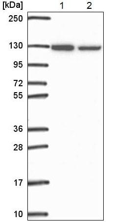 Western blot - Anti-ARS2 antibody - C-terminal (ab220991)