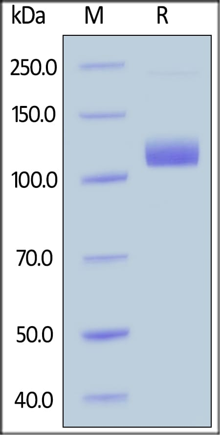 SDS-PAGE - Recombinant human Neuropilin 1 protein (Fc Chimera Active) (ab221023)