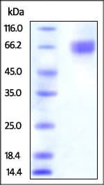 SDS-PAGE - Recombinant Human Nectin 3 protein (ab221024)