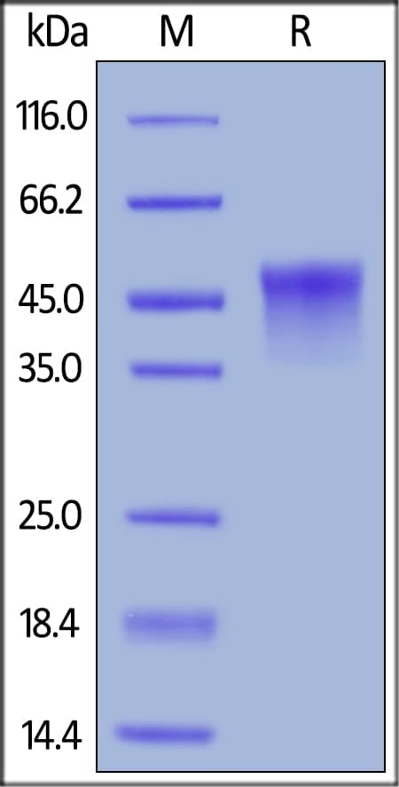 SDS-PAGE - Recombinant mouse CD134 / OX40L receptor protein (Active) (ab221028)