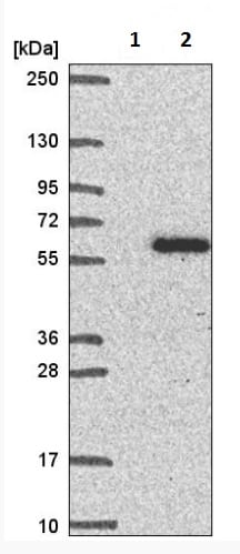 Western blot - Anti-RAP55B antibody (ab221041)