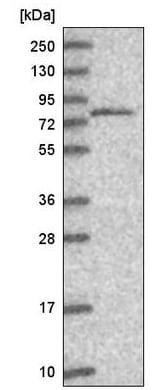 Western blot - Anti-THOC5 antibody (ab221049)