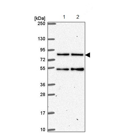 Western blot - Anti-HEATR3 antibody (ab221085)