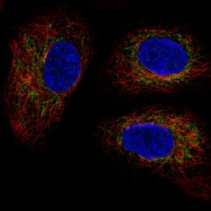 Immunocytochemistry/ Immunofluorescence - Anti-PM1 antibody (ab221091)