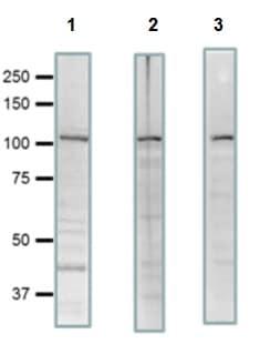 Western blot - Anti-SCYL2 antibody (ab221195)