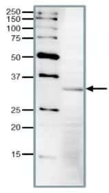 Western blot - Anti-CDK1 antibody (ab221197)