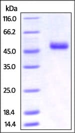 SDS-PAGE - Recombinant mouse CD252 protein (Fc Chimera Active) (ab221205)