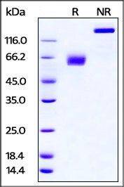 SDS-PAGE - Recombinant Mouse PD-L2 protein (Fc Chimera) (ab221206)