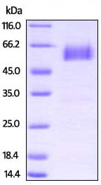 SDS-PAGE - Recombinant Rat PD1 protein (Fc Chimera) (ab221218)