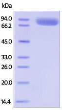 SDS-PAGE - Recombinant human IL-1R-2 protein (Fc Chimera Active) (ab221219)