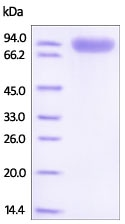 SDS-PAGE - Recombinant Mouse ROR1 protein (Fc Chimera) (ab221220)