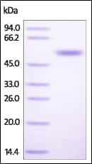 SDS-PAGE - Recombinant Human CD4 protein (ab221226)