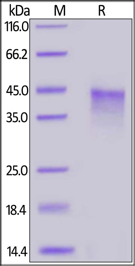 SDS-PAGE - Recombinant human CD134 / OX40L receptor protein (Active) (ab221231)
