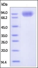 SDS-PAGE - Recombinant human SIRP alpha protein (Fc Chimera Active) (ab221235)