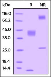 SDS-PAGE - Recombinant Human TGF beta 1 protein (His tag) (ab221313)