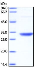 SDS-PAGE - Recombinant Human PSME2 protein (His tag) (ab221321)