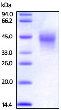 SDS-PAGE - Recombinant rhesus monkey CD134 / OX40L receptor protein (Active) (ab221322)