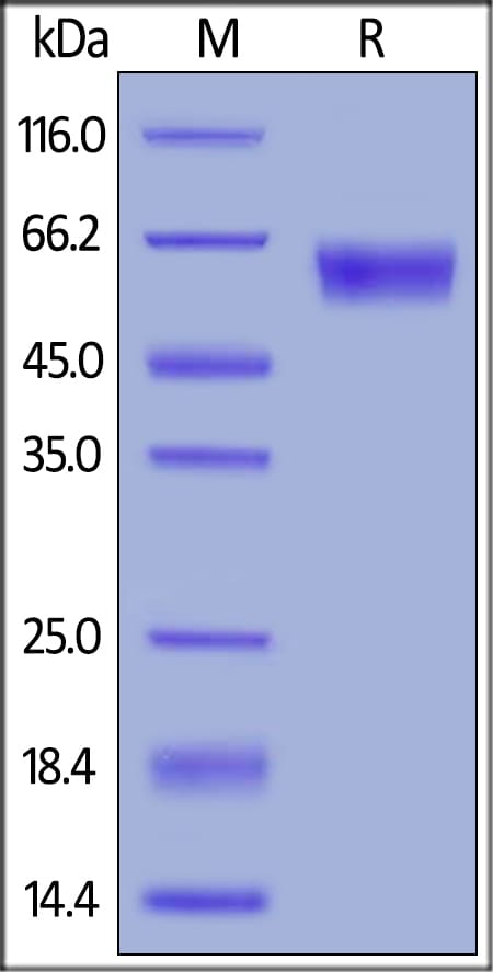 SDS-PAGE - Recombinant mouse PD1 protein (Fc Chimera) (ab221326)