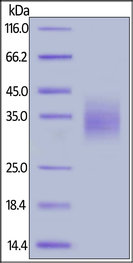 SDS-PAGE - Recombinant human PD1 protein (Active) (ab221328)