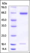 SDS-PAGE - Recombinant hamster PCSK9 protein (Active) (ab221332)