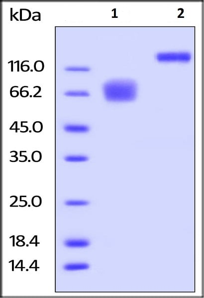 SDS-PAGE - Recombinant human CD58 protein (Fc Chimera Active) (ab221335)