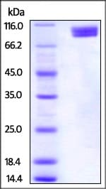 SDS-PAGE - Recombinant human Nectin 3 protein (Fc Chimera Active) (ab221336)