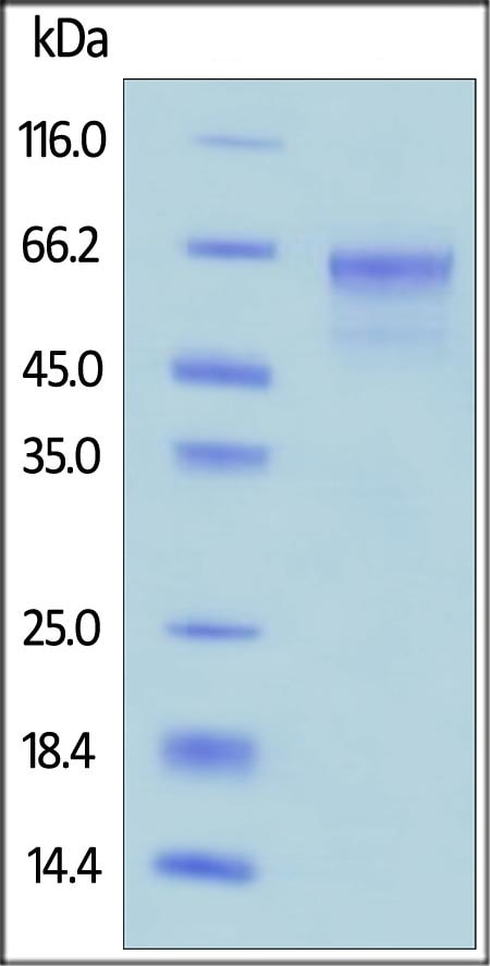SDS-PAGE - Recombinant human CD134 / OX40L receptor protein (Fc Chimera Active) (ab221340)