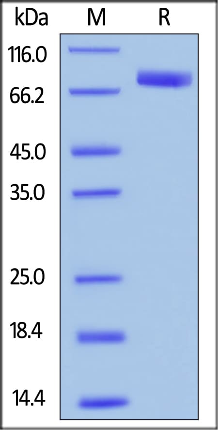 SDS-PAGE - Recombinant human SIRP alpha protein (Fc Chimera Active) (ab221342)