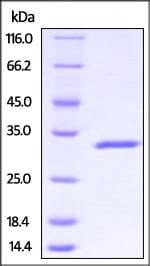 SDS-PAGE - Recombinant Human SCGN/Secretagogin protein (His tag) (ab221344)
