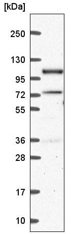 Western blot - Anti-Smek1 antibody (ab221392)