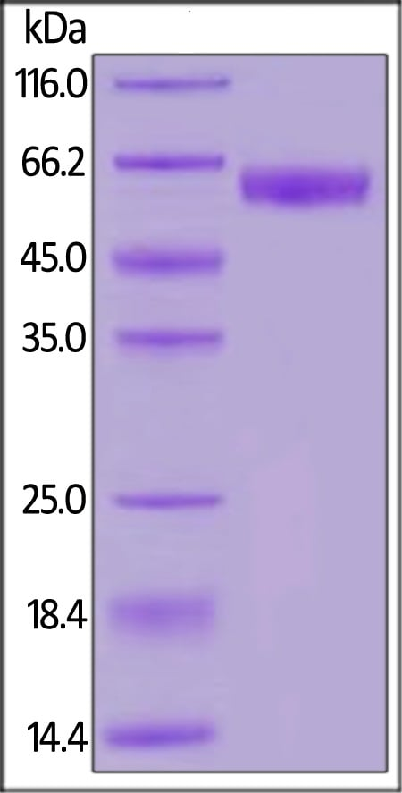 SDS-PAGE - Recombinant human PD1 protein (Fc Chimera Active) (ab221398)
