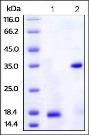 SDS-PAGE - Recombinant human PDGF B protein (His tag) (ab221402)