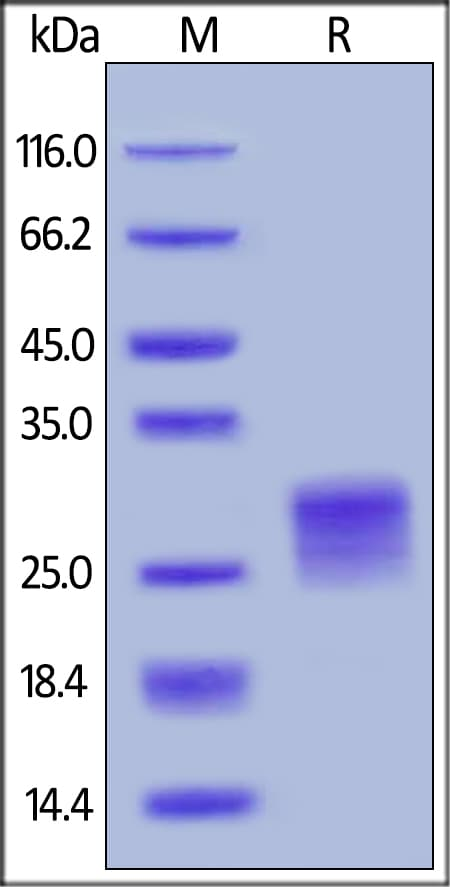 SDS-PAGE - Recombinant human CD252 protein (His tag) (ab221412)