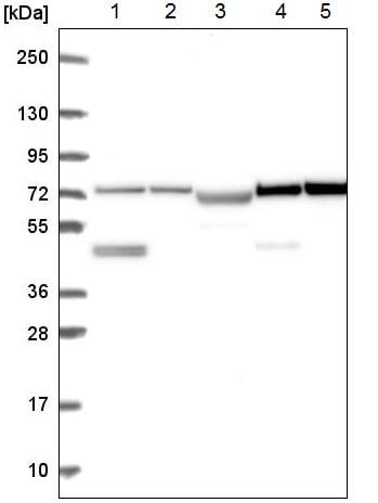 Western blot - Anti-DZANK1 antibody (ab221461)