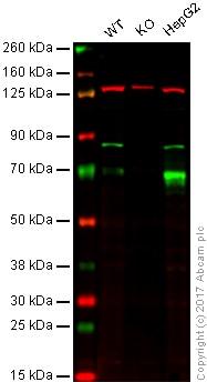 Western blot - Anti-Glypican 3 antibody [EPR10641] - BSA and Azide free (ab221498)
