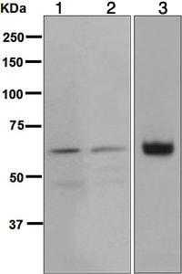 Western blot - Anti-Glypican 3 antibody [EPR5547] - BSA and Azide free (ab221499)
