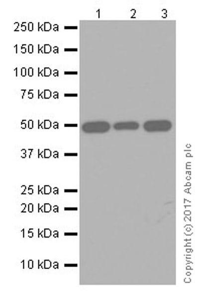 Western blot - Anti-DEK antibody [EPR20401] (ab221545)