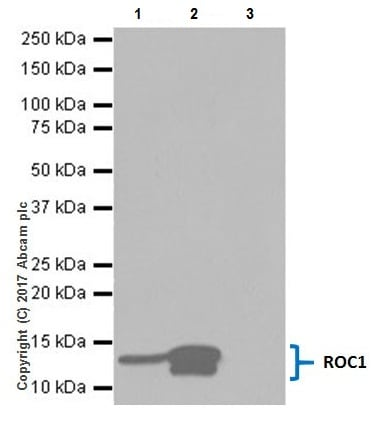 Immunoprecipitation - Anti-RBX1 antibody [EPR20185] (ab221548)