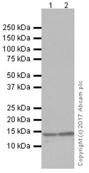 Western blot - Anti-RBX1 antibody [EPR20185] (ab221548)