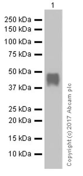 Western blot - Anti-nkx6.1 antibody [EPR20405] (ab221549)
