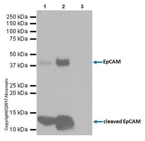 Immunoprecipitation - Anti-EpCAM antibody [EPR20533-63] (ab221552)