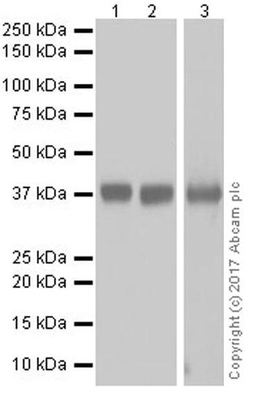 Western blot - Anti-EpCAM antibody [EPR20533-63] (ab221552)