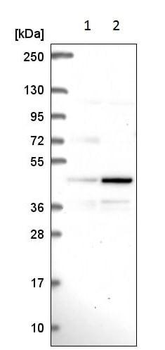 Western blot - Anti-PAG antibody (ab221564)