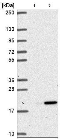 Western blot - Anti-AGS3 antibody (ab221596)