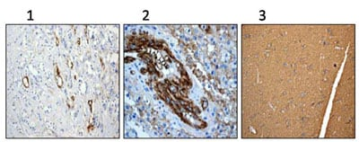 Immunohistochemistry (Formalin/PFA-fixed paraffin-embedded sections) - Anti-CD90 / Thy1 antibody [EPR3132] - Low endotoxin, Azide free (ab221607)