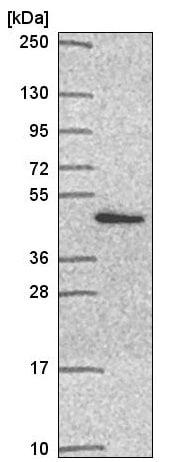 Western blot - Anti-PSMD11 antibody (ab221645)