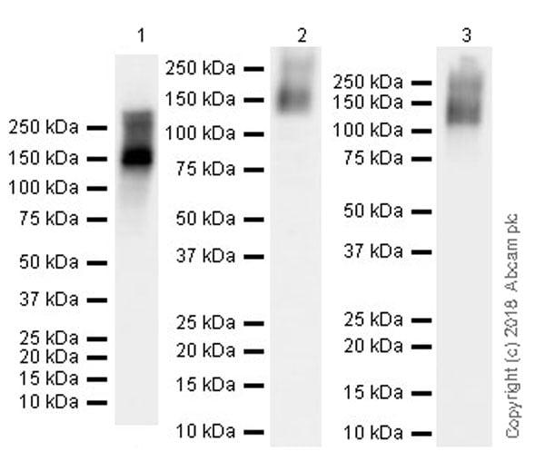 Western blot - Anti-Nestin antibody [EPR22023] (ab221660)