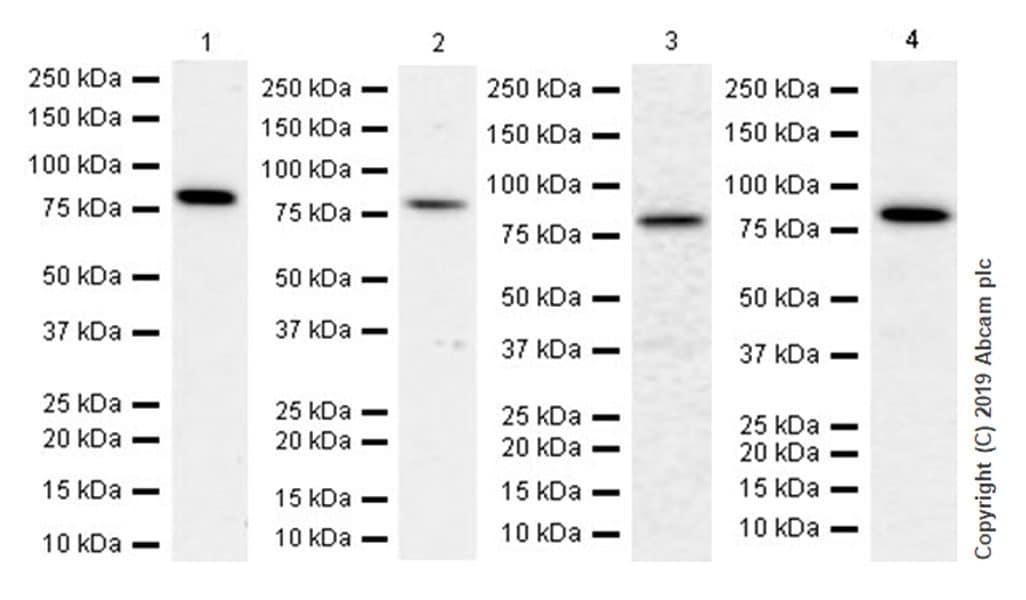Western blot - Anti-Mitofusin 1 antibody [EPR21953-74] (ab221661)