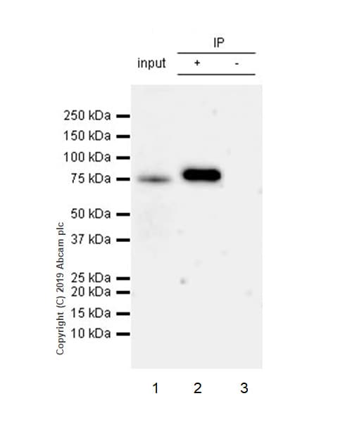 Immunoprecipitation - Anti-Mitofusin 1 antibody [EPR21953-74] (ab221661)